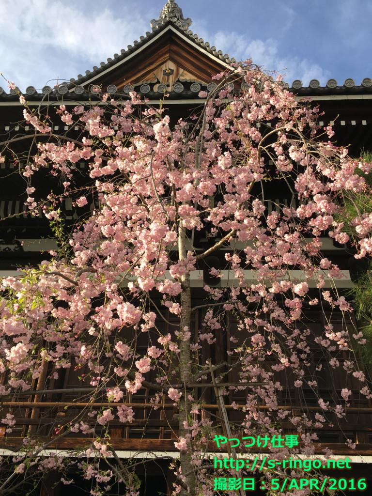 本能寺の桜02