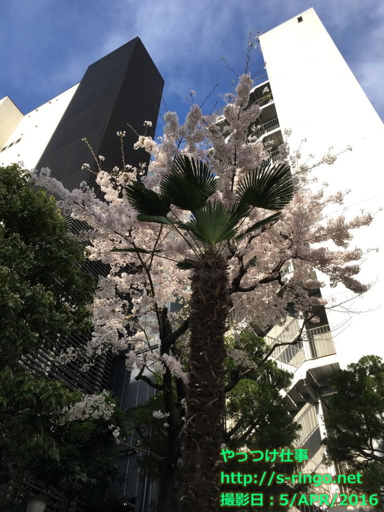 本能寺の桜03