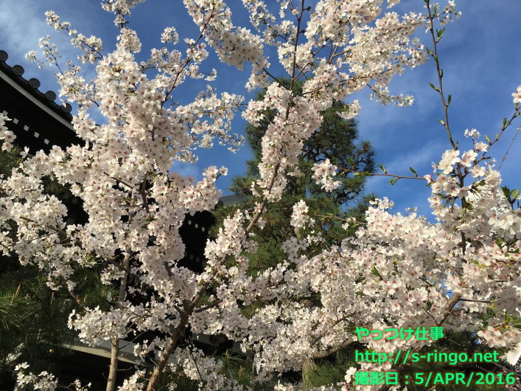 本能寺の桜01