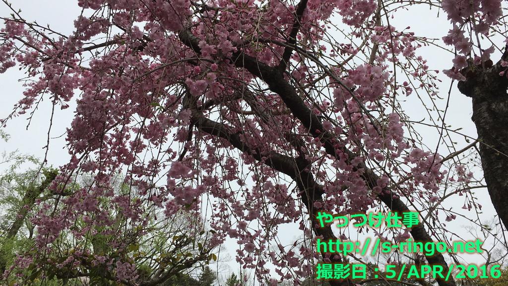神泉苑の桜