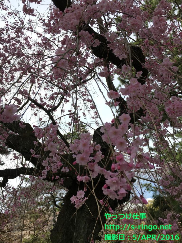 京都御苑13