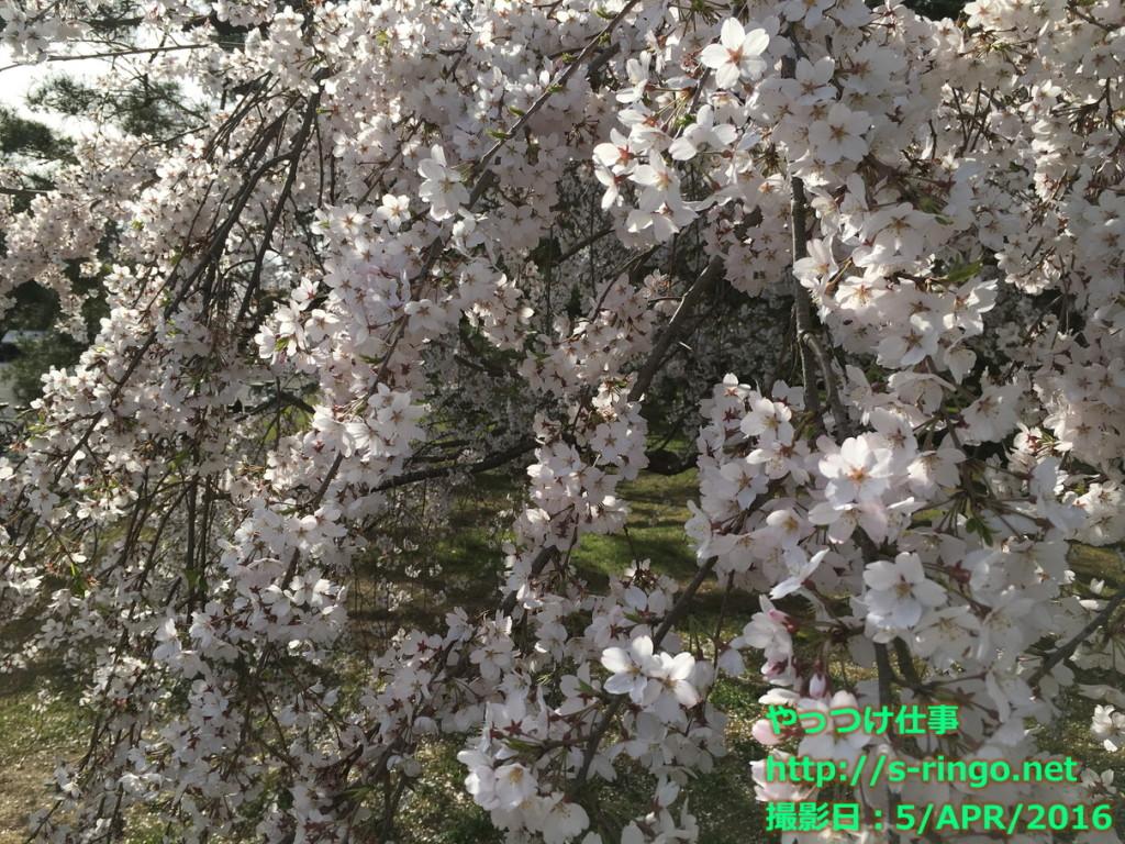 近衛のしだれ桜