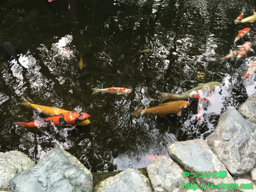 伊勢神宮の鯉