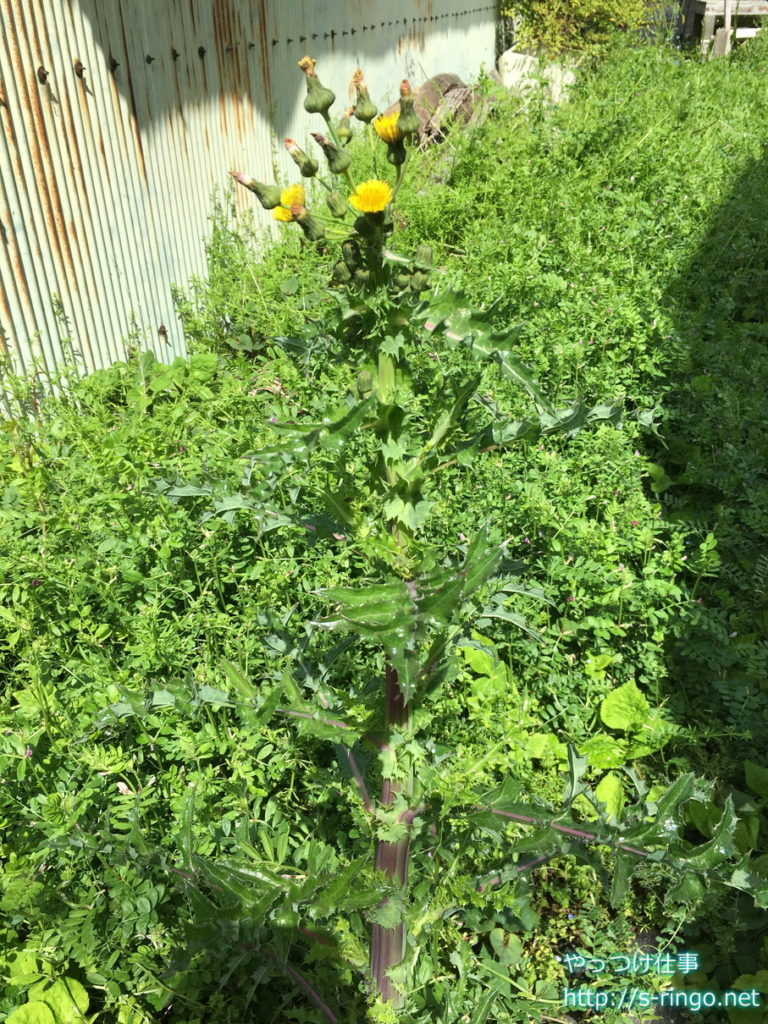 家庭菜園・でっかいタンポポ01