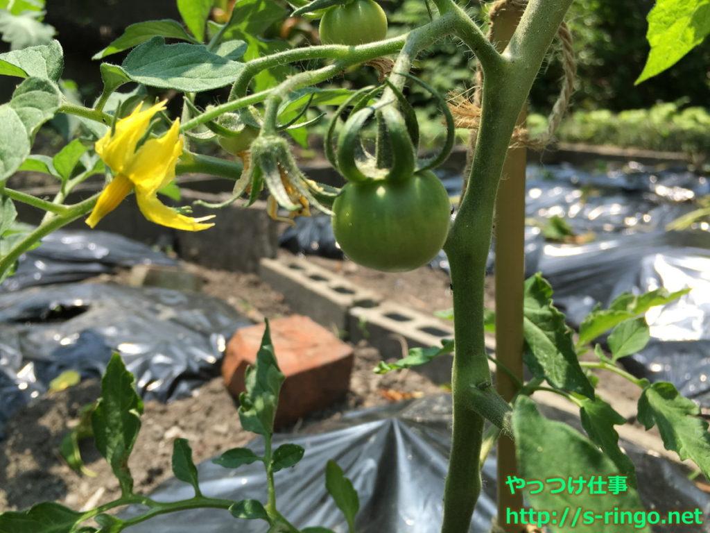 家庭菜園・トマト 5月21日