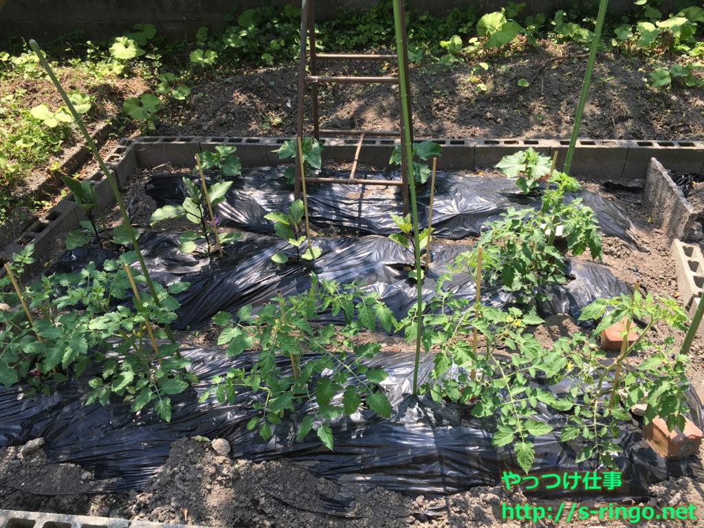 家庭菜園・きゅうりネット01・5月22日
