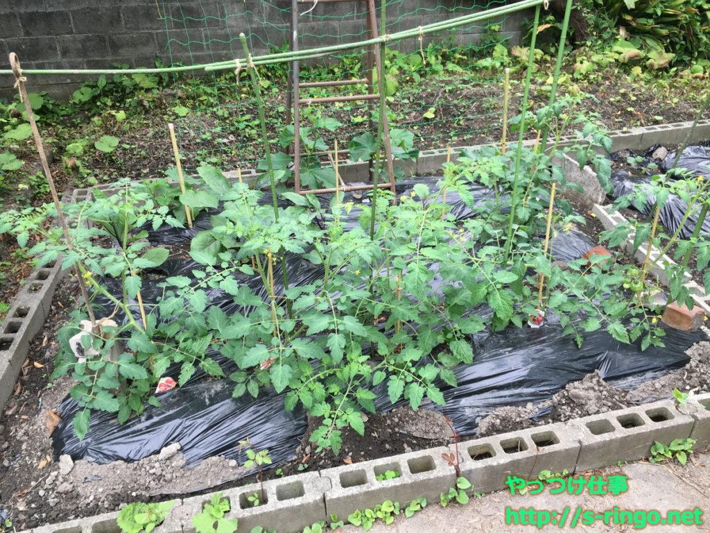 家庭菜園・きゅうりネット02・5月28日