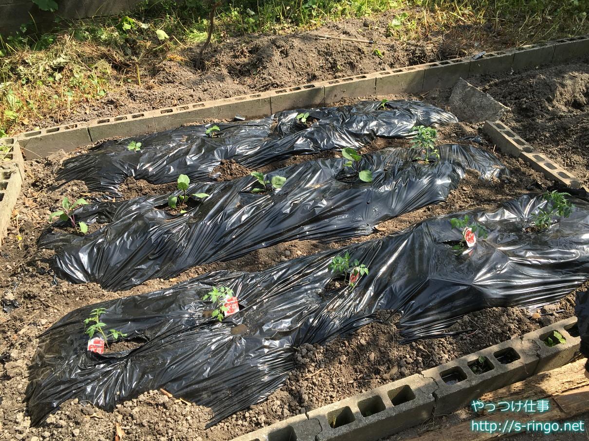 家庭菜園・なす・きゅうり・トマト植え付け